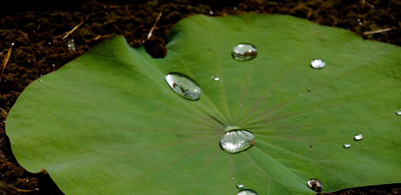 Lotus_leaf_with_waterdrops_crop_web